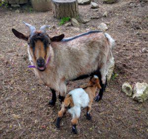 mom-baby-goat